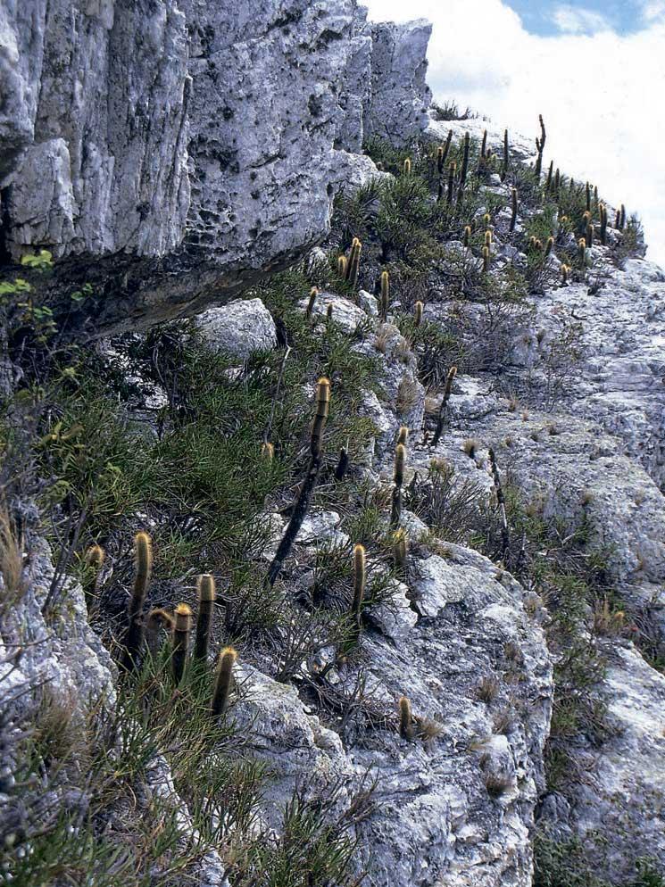 Скалы в местах произрастания с десятками растущих Arrojadoa marylanae всех размеров.