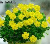 Oxalis Bullulata