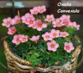 Oxalis Convexula