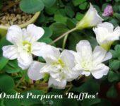 Oxalis purpurea Ruffles