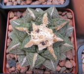 Ariocarpus fissuratus SB413 (СЕМЕНА,порция 30 шт)