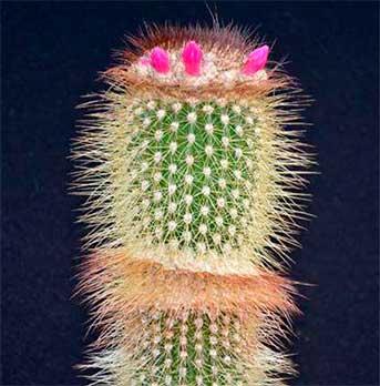 Растущие бутоны Arrojadoa marylanae в культуре.