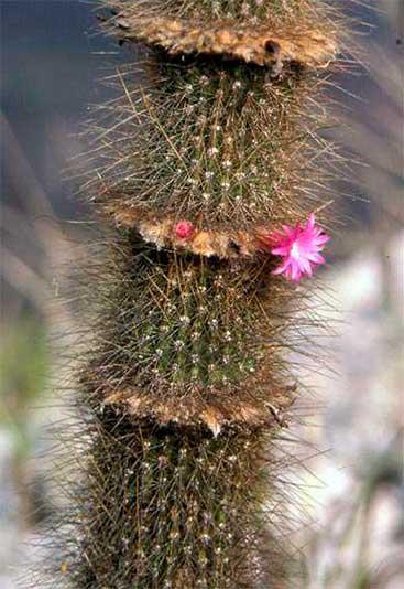 Цветение Arrojadoa marylanae в культуре