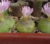 Conophytum ratum семена