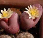 Lithops Optica Rubra семена
