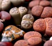 Lithops mix семена