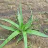 Aloe trinervis растущее в ботаническом саду