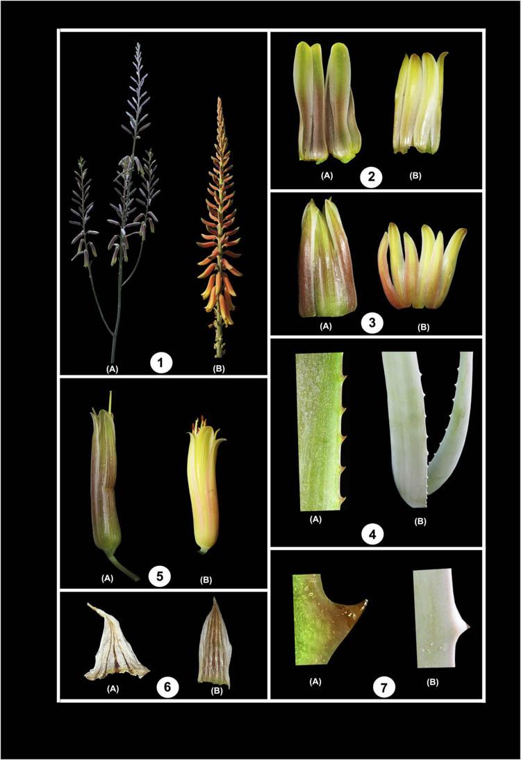 Сравнение растений Aloe trinervis и Aloe vera (A и B): (1) соцветия, (2) вид вентральной части венчика, (3) вид дорсальной части венчика, (4) расположение зубцов, (5) бутоны, (6) прицветник, (7) форма зубцов.