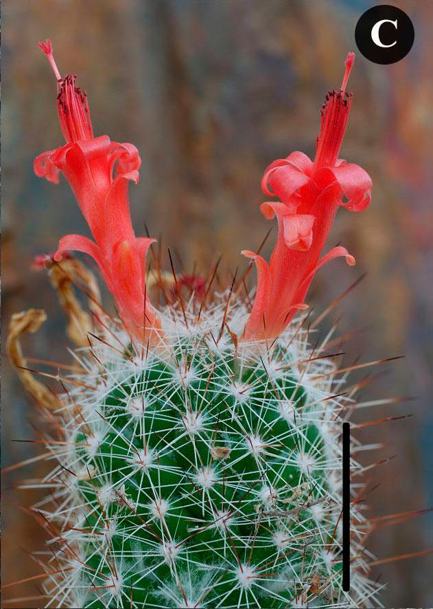 Цветки Cochemiea thomasii.