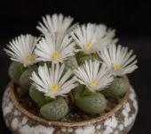 Lenophyllum marmorata семена
