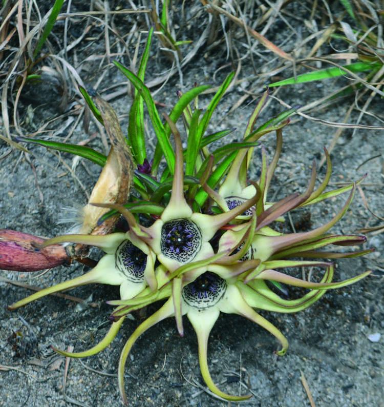 Brachystelma tanzaniensis в местах произрастания с обращенными вверх цветками и толстым стручком семян. (фото: Петр Павелка)