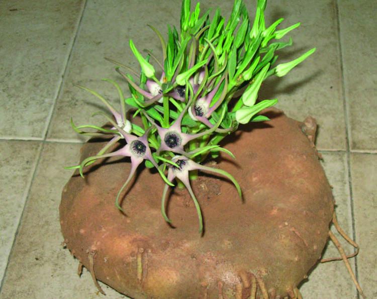 Большой каудекс Brachystelma tanzaniensis.