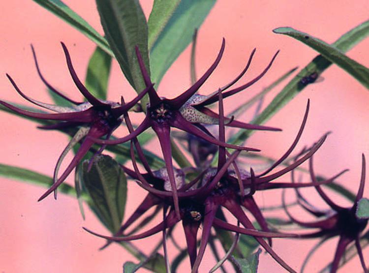 Направленные вниз темные цветки Brachystelma floribundum из Зимбабве.