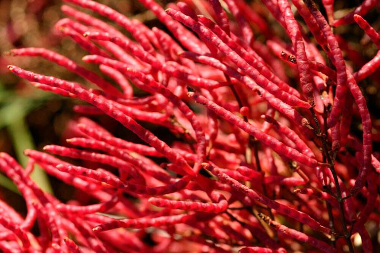 Salicornia virginica