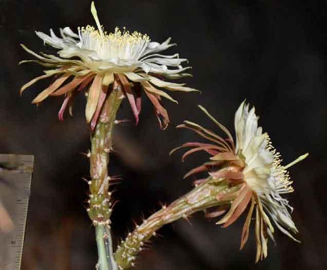 Acanthocereus paradoxus — новый эндемик из Мексики