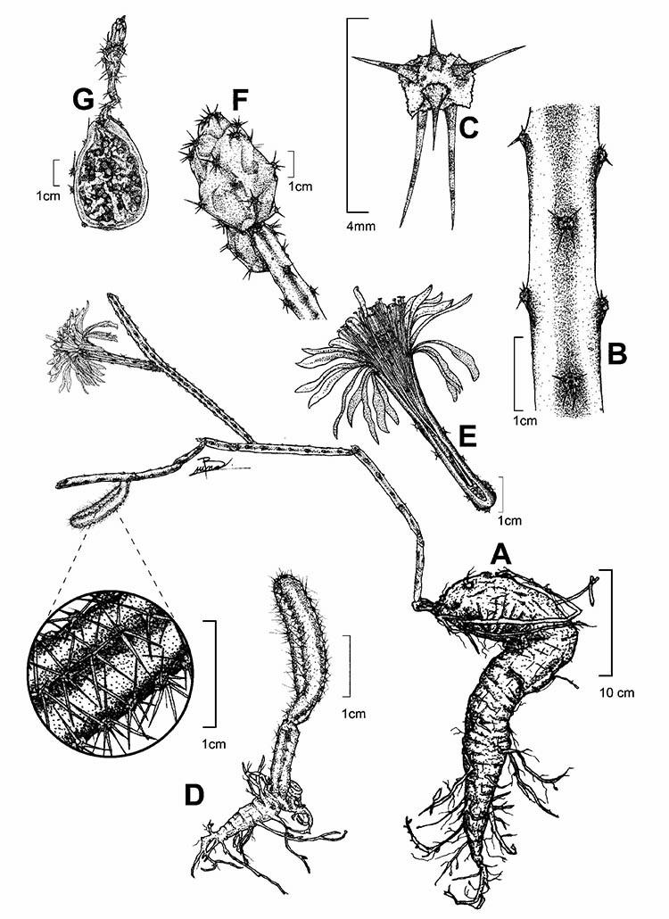 Acanthocereus paradoxus