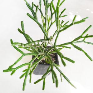 Hatiora salicornioides