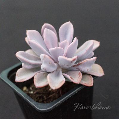 Graptoveria Cupid. graptoveria Topsy Debbie