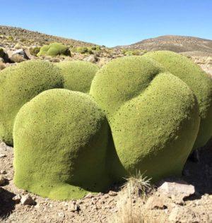 Azorella compacta — растение из другого измерения