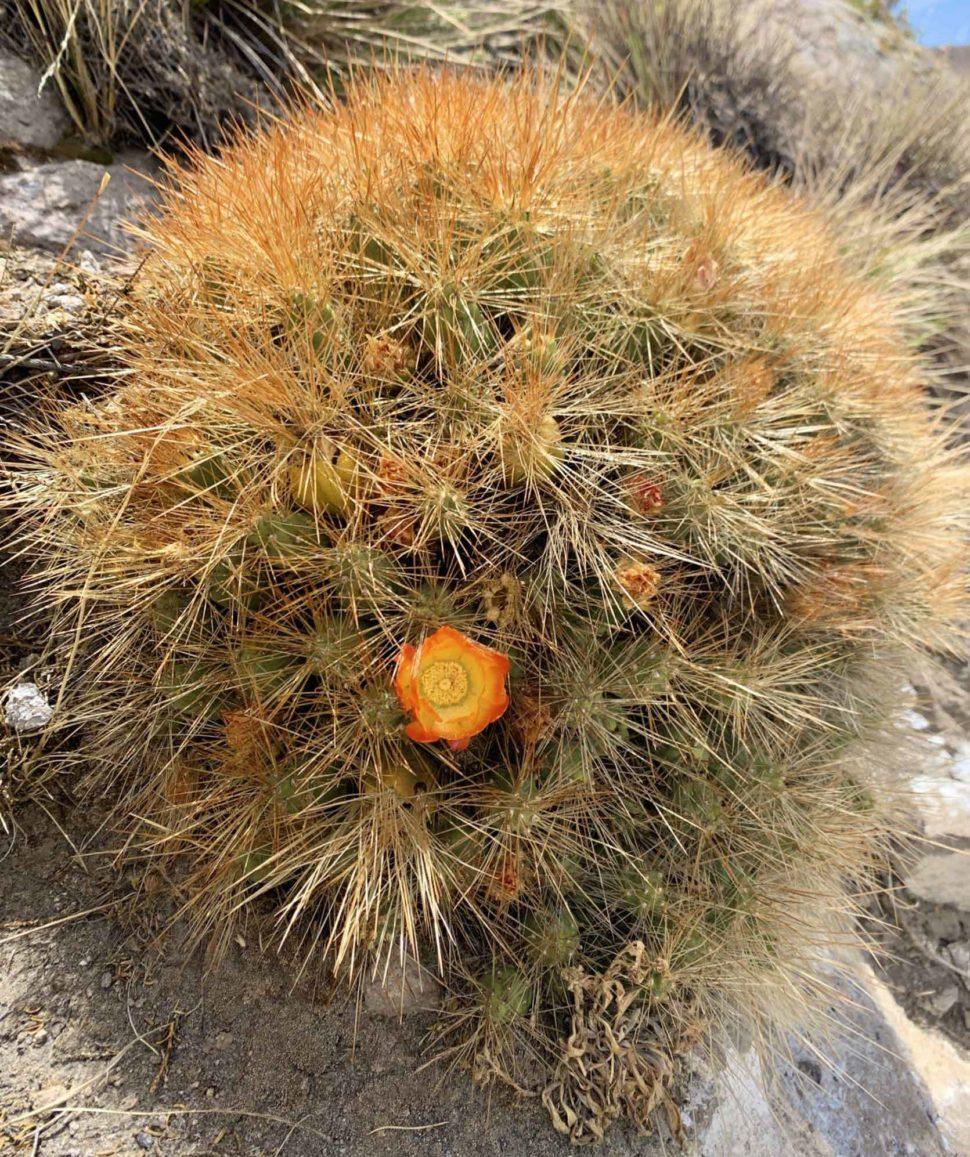Cumulopuntia boliviana subsp. ignescens