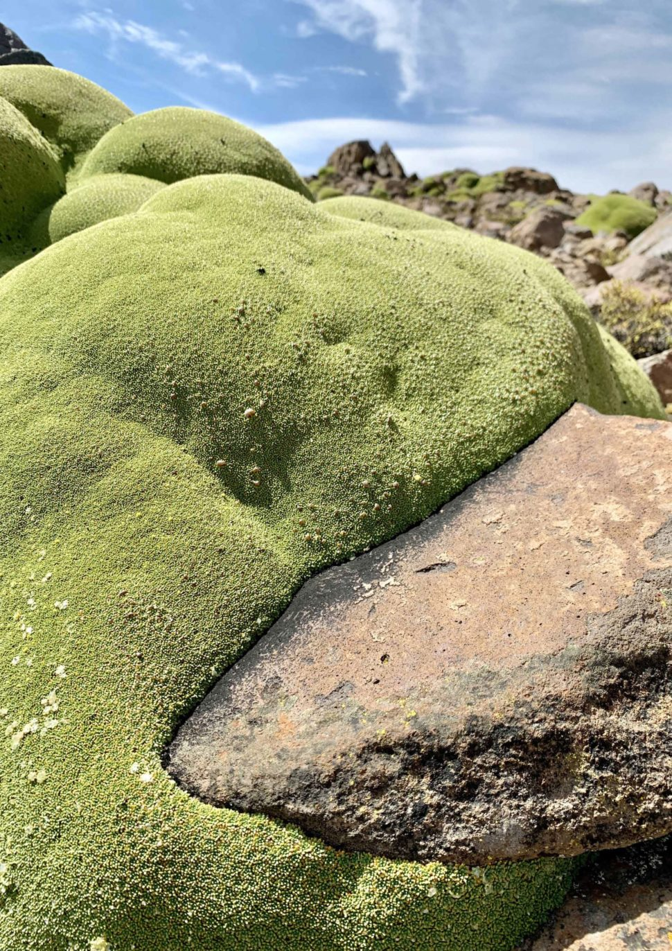 Azorella compacta растущая на камнях