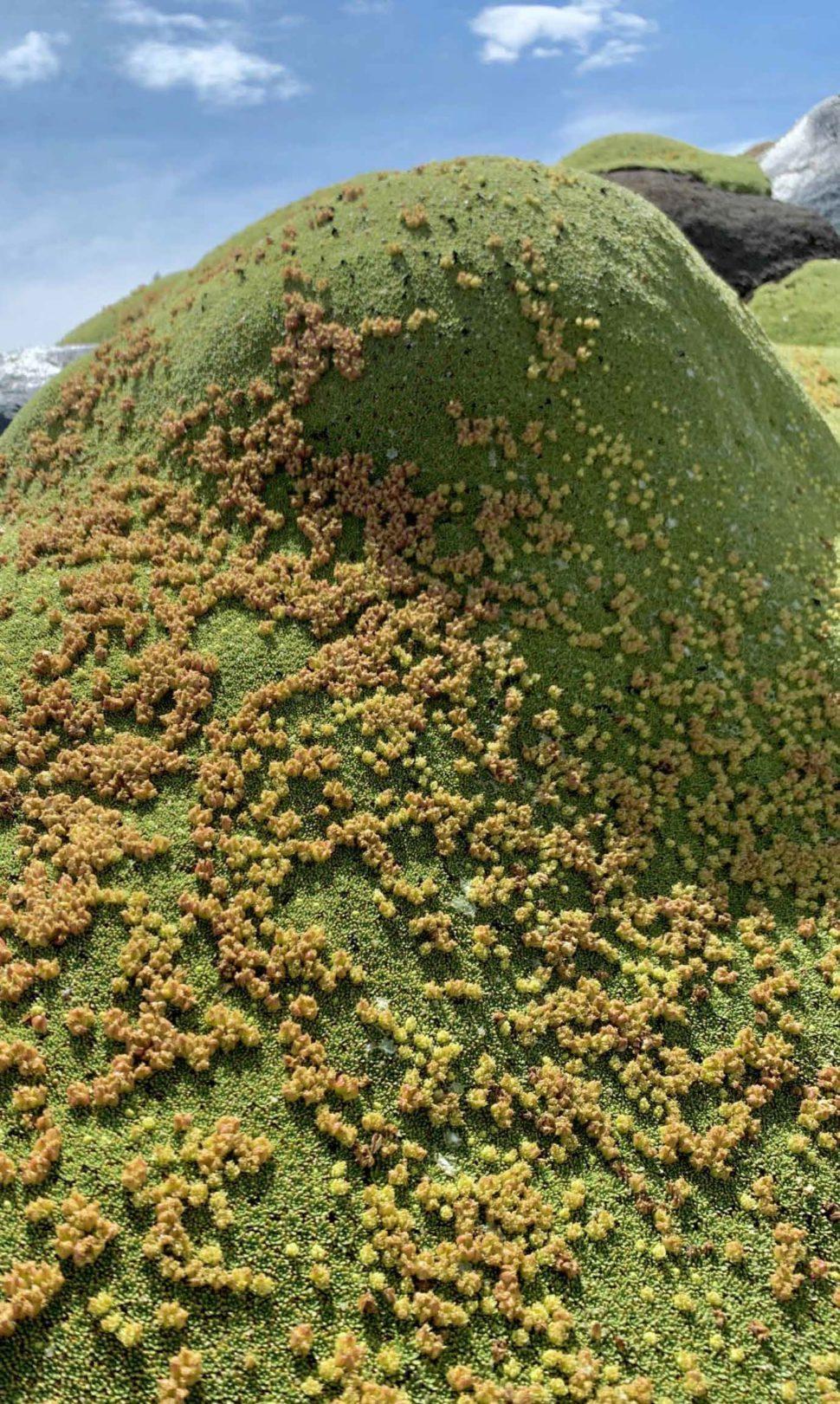 Azorella compacta в полном цвету и с плодами