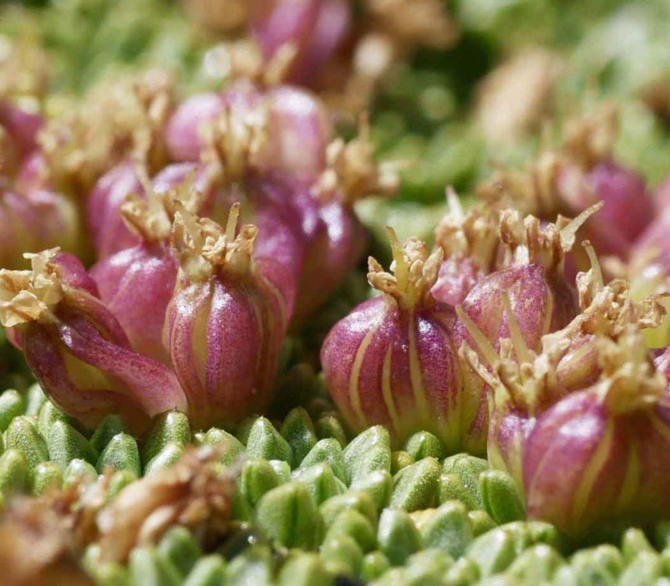 Плоды Azorella compacta