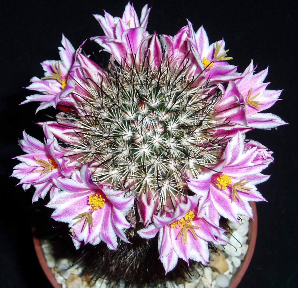 Род Cochemiea теперь расширился и включает большинство крупноцветковых видов Mammillaria, включая C. blossfeldiana