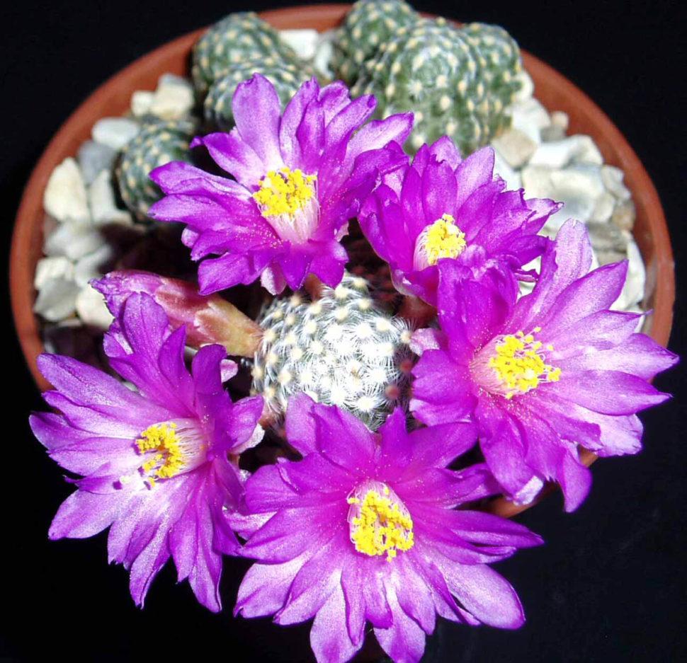 Также теперь входит в род Cochemiea: C. saboae subsp. goldii