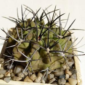 Neoporteria paucicostata