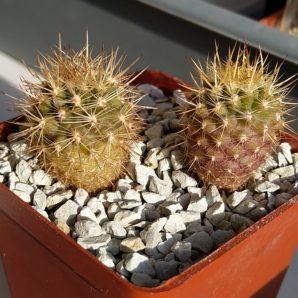 Neoporteria coimasensis
