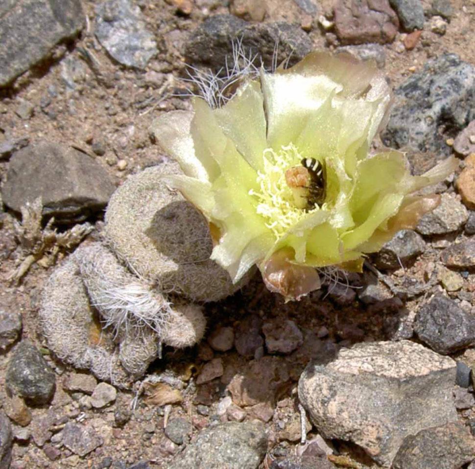 Puna clavarioides в цвету.