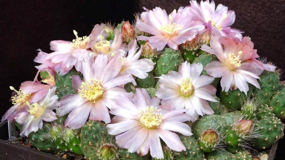 Цветущая группа Puna (Cumulopuntia) subterranea в нашей коллекции. v