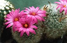 Krainzia (Mammillaria) guelzowiana --  Фото и растение Александра и Сергея Червинко (Винница)