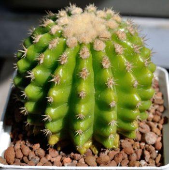 echinocactus-grusonii-brevispinus