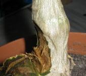 porazhennyi-kaudeks-adeniuma